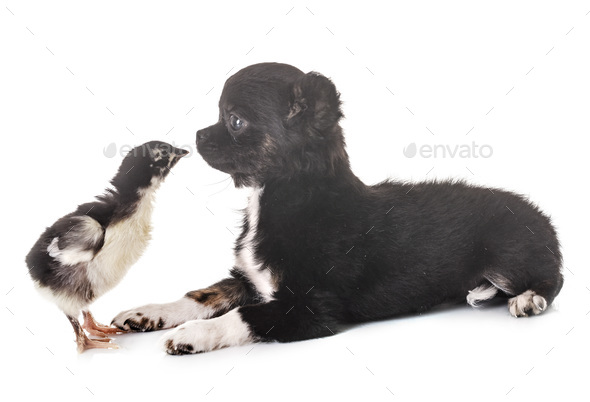 puppy chihuahua and chick - Stock Photo - Images