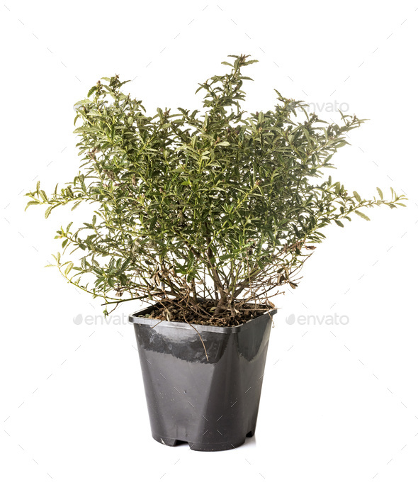 Ceanothus in studio - Stock Photo - Images