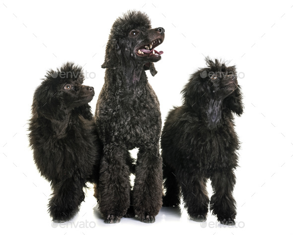 puppy and adult brown poodle - Stock Photo - Images