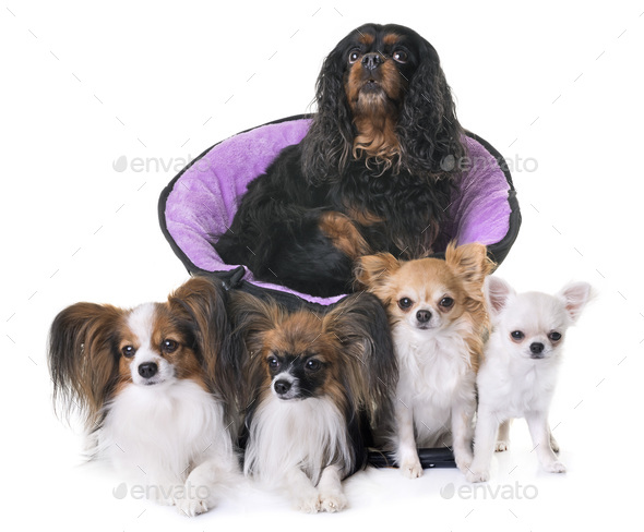 cavalier king charles, papillon and chihuahua - Stock Photo - Images