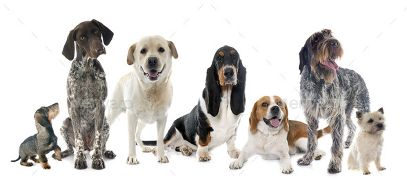 hunting dogs in studio - Stock Photo - Images
