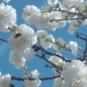 White Flowers on Tree on Blue Sky with Bees