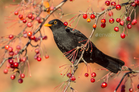 Male European Blackbird  feeding and looking - Stock Photo - Images