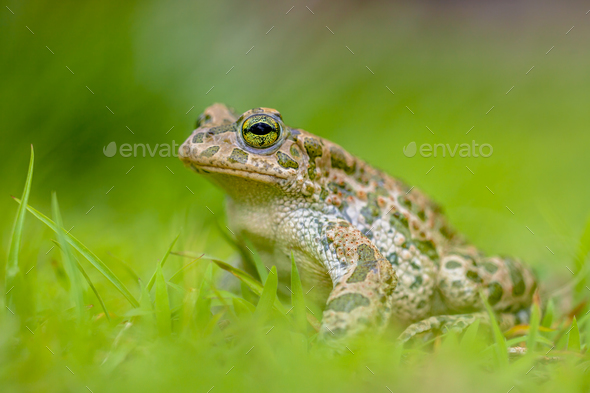 Green toad in bright green Grass - Stock Photo - Images