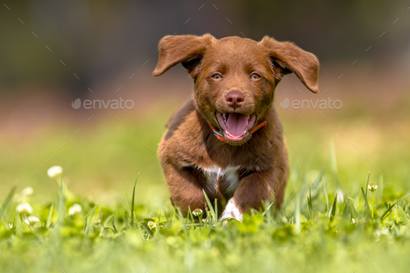Little puppy running with flapping ears - Stock Photo - Images