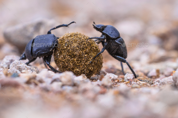 plugging dung beetles solving problems - Stock Photo - Images