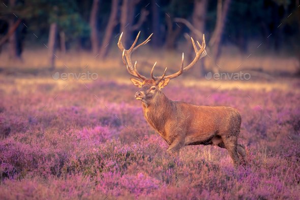 Male red deer big antlers - Stock Photo - Images
