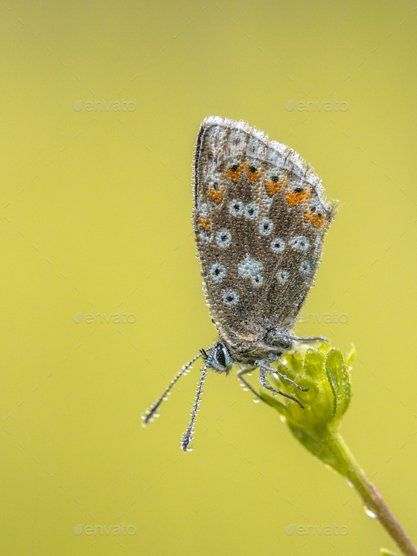 Chalkhill blue butterfly with dew drops - Stock Photo - Images