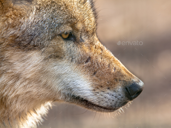 Snout portrait of a  Grey Wolf - Stock Photo - Images