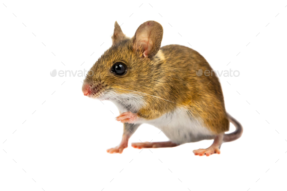 Curious Cut out Field Mouse - Stock Photo - Images