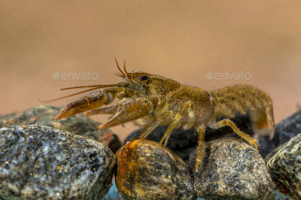 European crayfish on riverbed - Stock Photo - Images