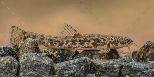 Stone loach on rocky river bottom - Stock Photo - Images