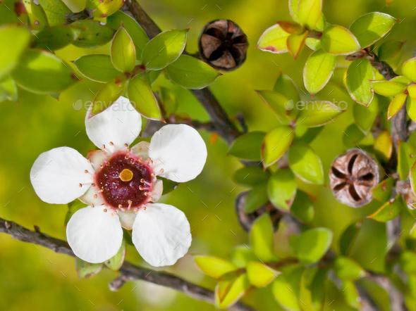 Manuka flower closeup - Stock Photo - Images