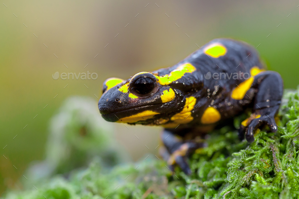 Head of a Fire salamander newt looking in camera - Stock Photo - Images
