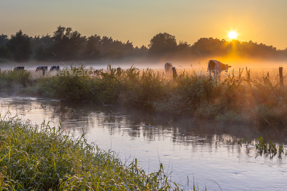 Cows in field on bank of Dinkel River at sunrise - Stock Photo - Images
