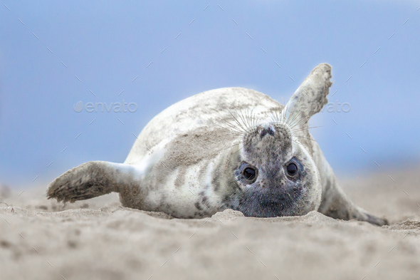 Comical harbor seal pup on back - Stock Photo - Images
