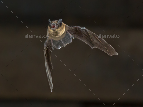 Flying Pipistrelle bat on wooden attic - Stock Photo - Images