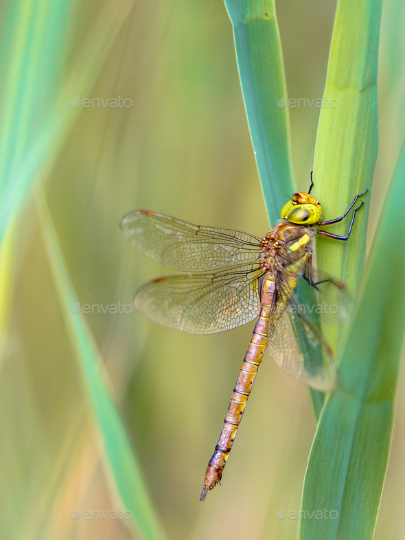 Green eyed hawker resting  on reed - Stock Photo - Images