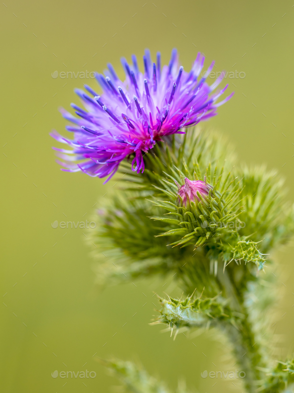 Creeping Thistle flower - Stock Photo - Images