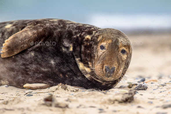 Portrait of Grey seal - Stock Photo - Images