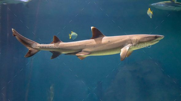 White tip reef shark - Stock Photo - Images