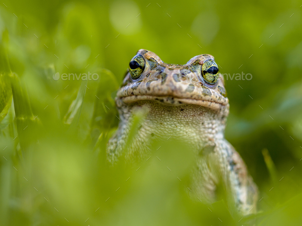 Impudent Green toad in Grass - Stock Photo - Images