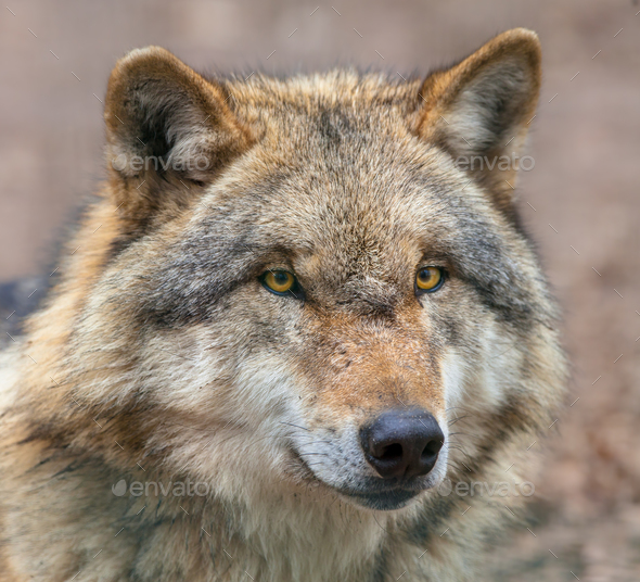 Close up of head of Dangerous Grey Wolf - Stock Photo - Images