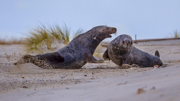 Fighting Grey seal males on beach - Stock Photo - Images