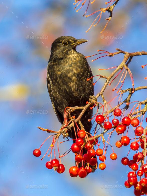 Male European Blackbird  feeding - Stock Photo - Images