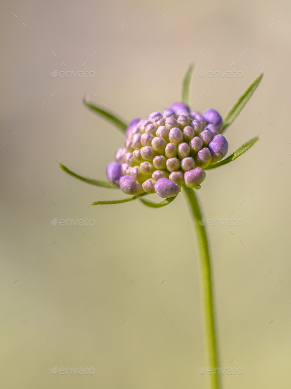 Field scabious blurred brown background - Stock Photo - Images