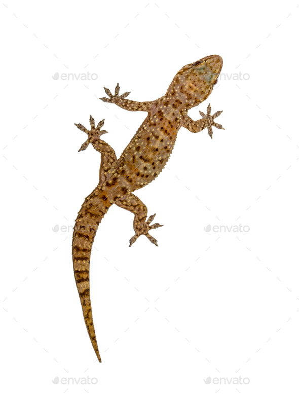 Gecko on white wall - Stock Photo - Images