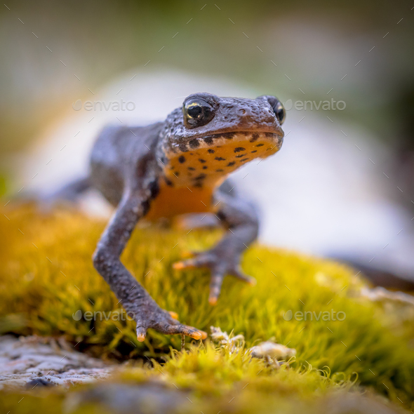 Alpine newt frontal style - Stock Photo - Images