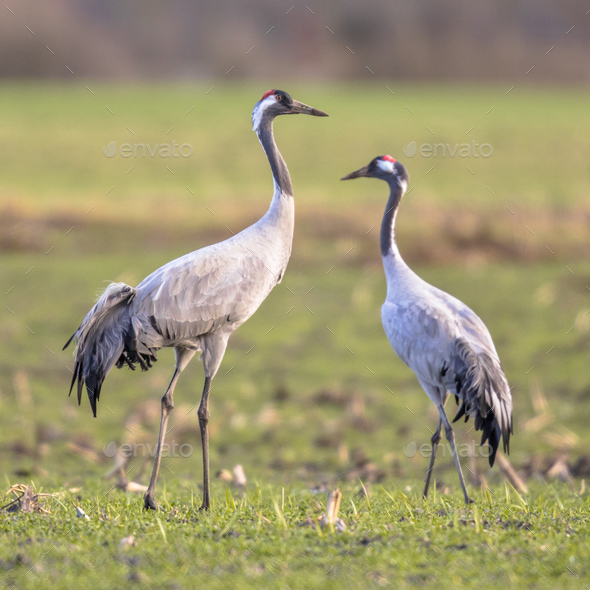 Two cranes in green grass field - Stock Photo - Images