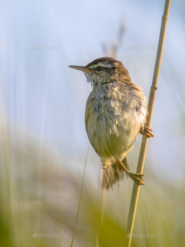 Sedge warbler in reed plant - Stock Photo - Images
