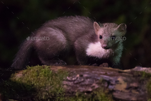 Beech marten on log at night - Stock Photo - Images