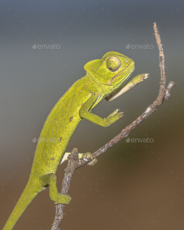 African chameleon on stick - Stock Photo - Images