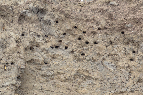 Sand martin breeding site - Stock Photo - Images