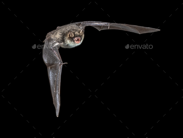 Isolated Flying natterers bat on black background - Stock Photo - Images