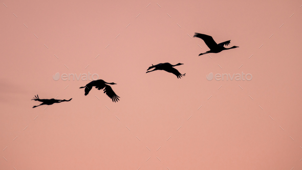 Four Migrating Eurasian Cranes flying against pink sky - Stock Photo - Images