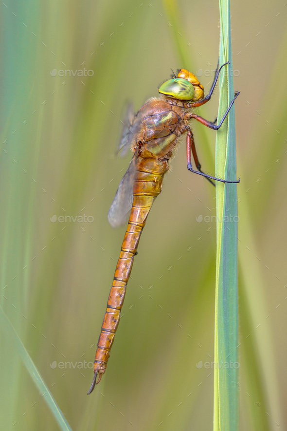 Side view of Green eyed hawker on  reed background - Stock Photo - Images