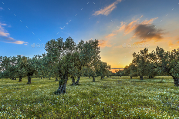 Olive grove at sunrise - Stock Photo - Images