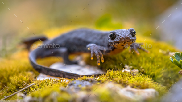 Alpine newt sideview on moss and rocks - Stock Photo - Images