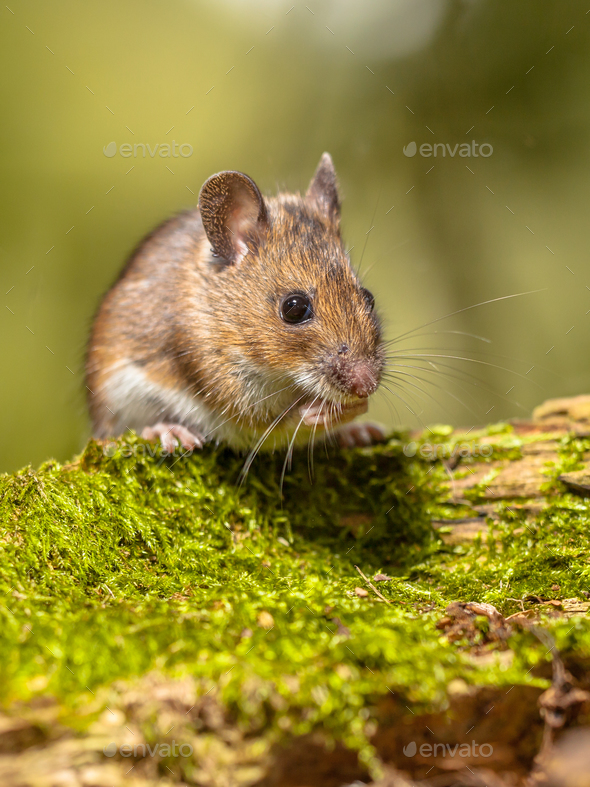 Wood Mouse on mossy log green background - Stock Photo - Images