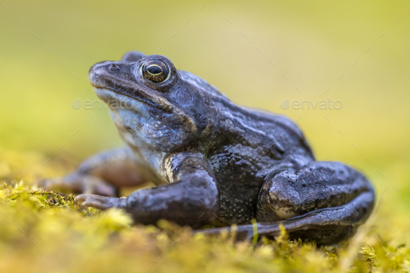 Blue Moor frog side view on bright green background - Stock Photo - Images