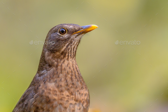 Female blackbird headshot green background - Stock Photo - Images