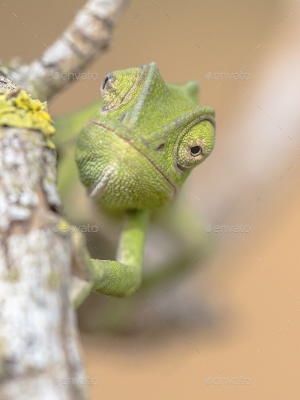 Frontal view African chameleon on stick - Stock Photo - Images
