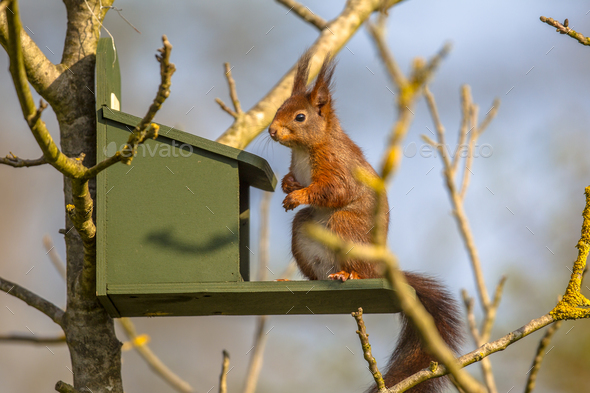 Red squirrel on feeder - Stock Photo - Images