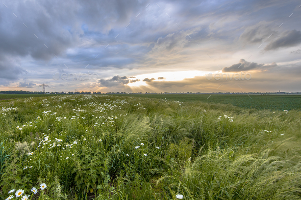 Open countryside with white daisy flowers - Stock Photo - Images