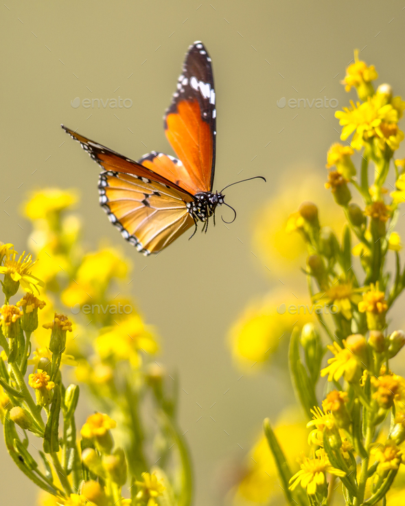 Flying butterfly Plain tiger between flowers - Stock Photo - Images
