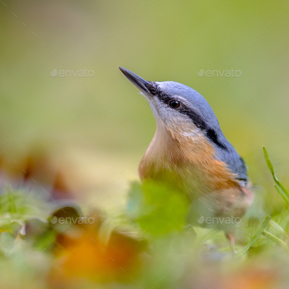 Eurasian Nuthatch autumn colors - Stock Photo - Images